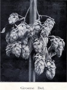 The Groene Bel in 1909, now an (almost) lost hop variety. Source: Wikimedia Commons.