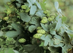 Belgian hops: making a comeback? Source: Westflandrica