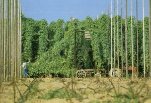 Hops harvest in Belgium: only 160 hectares left. Source: Westflandrica