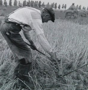 Farm worker harvesting barley in Zeeland (The Netherlands), one of the regions Hainaut brewers got their barley from. Source: Planbureau en Bibliotheek van Zeeland.